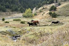 Horses running on field at Vall d´incles, Andorra stock image
