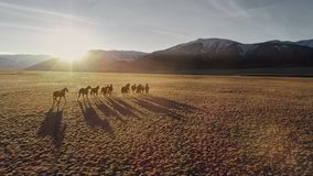 Horses running free in meadow with snow capped mountain backdrop. Wild Horses Running. Herd of horses running on the steppes in the background mountain. Sunset stock footage
