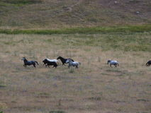Horses running free at the National Park of Northern Pindos. Stock Photo