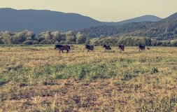 Horses running freely in evening light. Healthy herd Royalty Free Stock Image