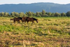Horses running freely in evening light. Healthy herd Royalty Free Stock Photo