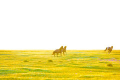 The horses are running on the grassland in the early morning Stock Photo