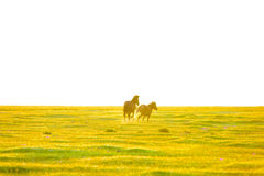 The horses are running on the grassland in the early morning. In the morning, two horses were running on the grassland Stock Images