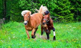 Horses running on green field Royalty Free Stock Image