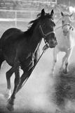 Horses running loose at rodeo. Converted with added grain Royalty Free Stock Photos