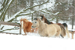 Horses running in the lot of snow in winter Royalty Free Stock Image