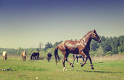 Horses running on meadow. In the mountains Stock Photo