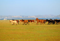 Horses running. In a meadows Royalty Free Stock Image