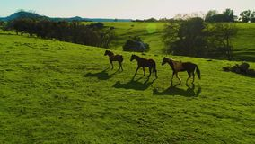 Horses running and pasturing on a country side aerial view green grass live stock mountains and lakes day time sun set. Some lens flares curious horses stock footage