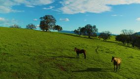 Horses running and pasturing on a country side aerial view green grass live stock mountains and lakes day time sun set. Some lens flares curious horses stock video footage