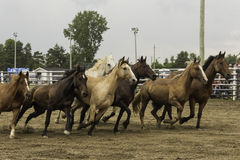 Horses running. Horses in a pen running wild Stock Photography