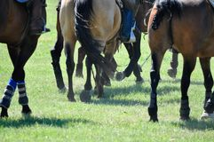 Horses running. On a polo field Stock Photos
