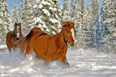 Horses running in snow royalty free stock photos