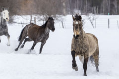 Horses Running In The Snow Royalty Free Stock Image