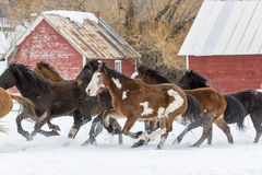 Horses Running In The Snow Royalty Free Stock Photo