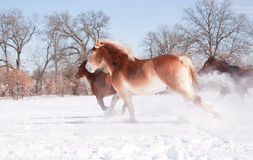 Horses running in snowy winter pasture Royalty Free Stock Photography