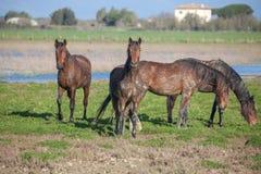 Horses running Royalty Free Stock Photography