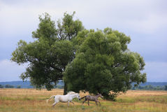 Horses running from the thunderstorm. Thoroughbred mare and foal runs on a green summer meadow Stock Photography