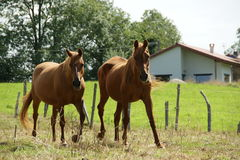 HORSES. 2 horses running together in the field Royalty Free Stock Images