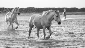 Horses  running in the water. Horses running in the water, black and white Stock Photography