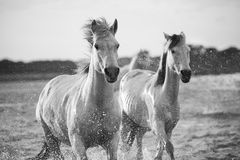 Horses  running in the water. Horses running in the water, black and white Royalty Free Stock Photos