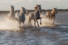 Horses running in the water. Camargue France Royalty Free Stock Photo