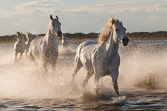 Horses  running in the water. Horses running in the water, Camargue France Royalty Free Stock Images