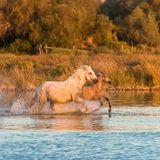 Horses running in the water stock image