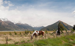 Horses in rural New Zealand Stock Photo