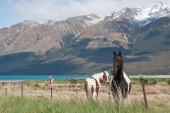 Horses in rural New Zealand Royalty Free Stock Image