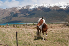 Horses in rural New Zealand Royalty Free Stock Photo