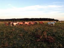 Horses. In Russia and wildernes Royalty Free Stock Photography