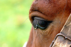 Horses's eye. A big and beautiful horses's eye Royalty Free Stock Image