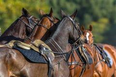 Horses Saddled Polo Parade Stock Photos