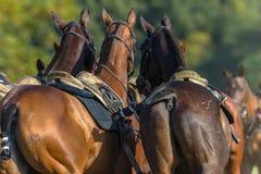 Horses Saddled Polo Parade Stock Image