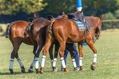 Horses Saddled Polo Parade Stock Photo