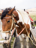 Horses saddled up Stock Images