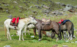 Horses with saddles on green meadow. Horse with a saddle on green meadow. White, gray and brown horse standing on the grass Royalty Free Stock Photography