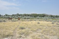 Horses in a Sagebrush Field. Two chestnut horses graze in a sagebrush pasture in Wyoming under a blue summer sky Stock Image