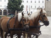 Horses. In Salzburg Royalty Free Stock Photo