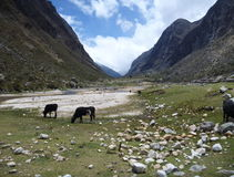Horses at the santa cruz trekking in peru Stock Photos