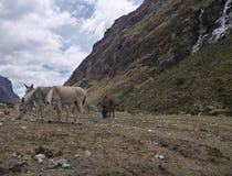Horses at the santa cruz trekking in peru Royalty Free Stock Photos