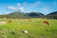 Horses in Sardinia. Horses along road 125 between Baunei and Dorgali, Sardinia, Italy Stock Photo