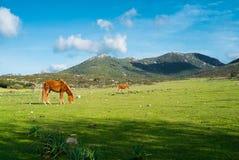 Horses in Sardinia. Horses along road 125 between Baunei and Dorgali, Sardinia, Italy Royalty Free Stock Images