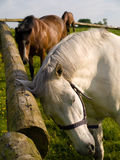 Horses Scratching Relaxing Itching Stock Photos