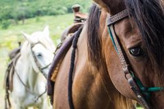 Horses sealed for ride in the field stock photography