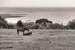 Horses on Seaside Meadow Pasture Field above Sea Stock Photography