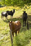 Horses Seeking Shade Royalty Free Stock Photos
