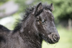 Horses_shetland konik Zdjęcie Stock