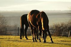 Horses shining in sunset light Royalty Free Stock Images